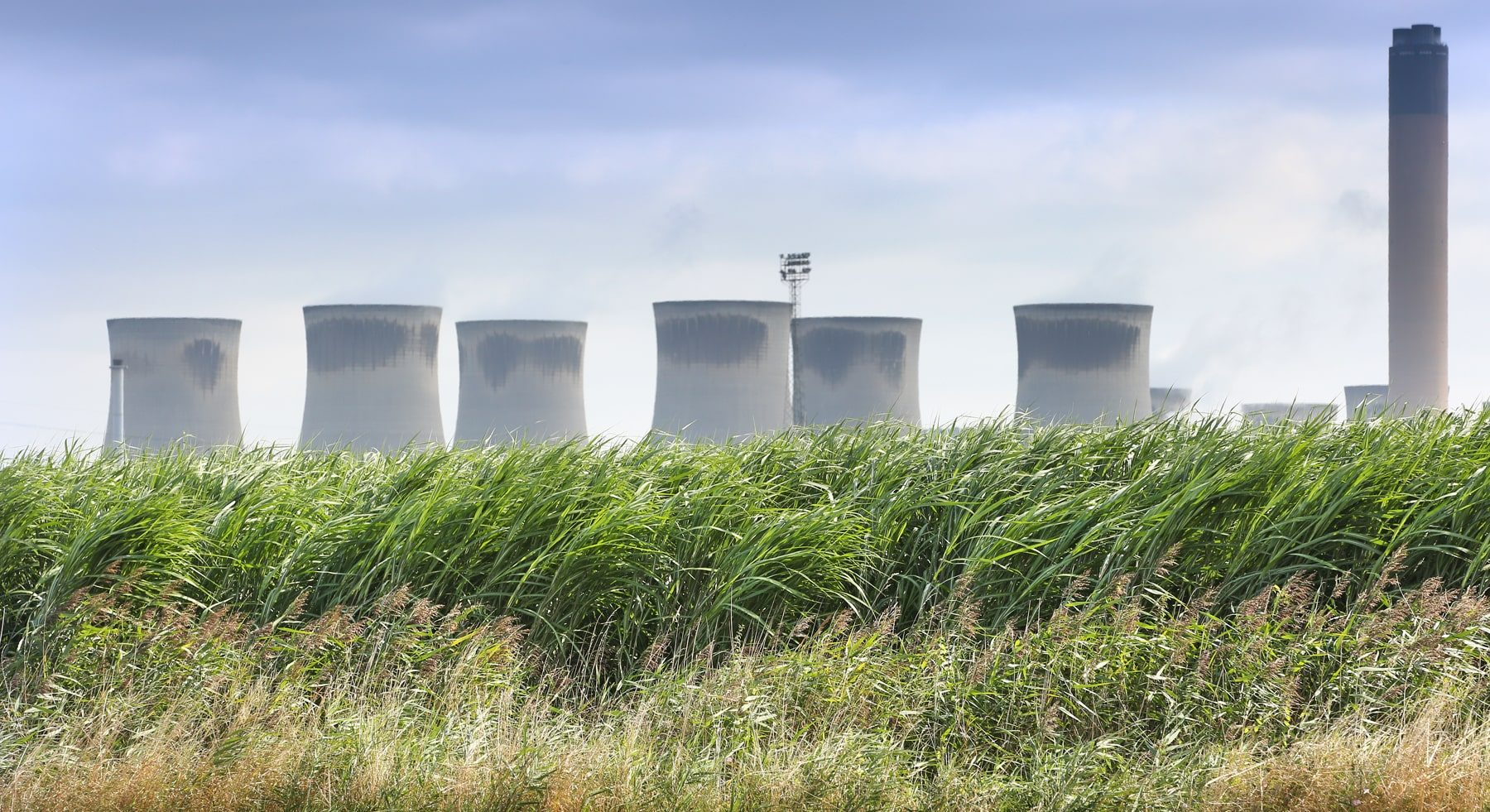 energy crops - Miscanthus field in front of Drax